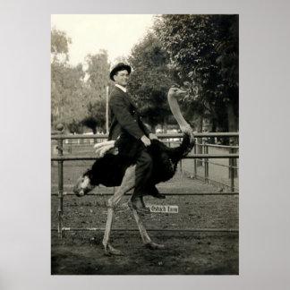Montar a caballo 1910 de la avestruz póster