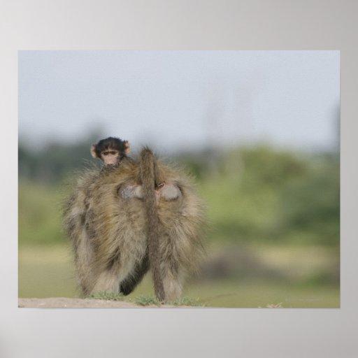 Montar a caballo del babuino de Chacma del bebé (u Posters