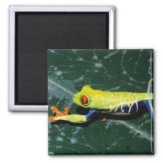 Monte Verde, Costa Rica. Red-eyed tree frog 2 Inch Square Magnet