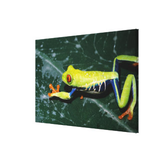 Monte Verde, Costa Rica. Red-eyed tree frog Canvas Prints