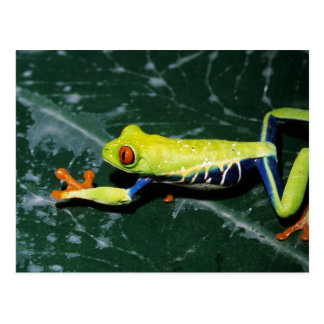 Monte Verde, Costa Rica. Red-eyed tree frog Postcard
