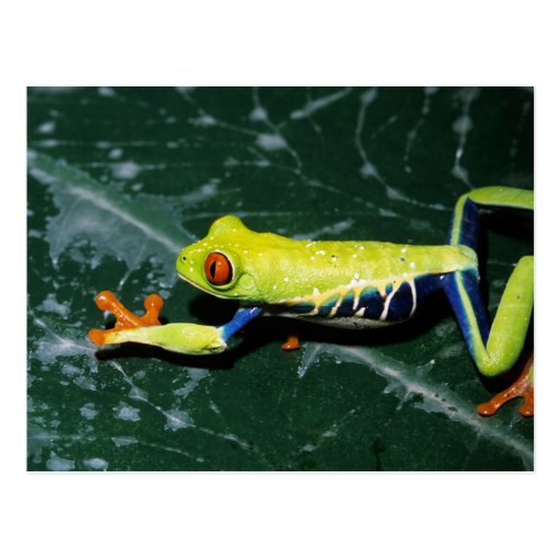 Monte Verde, Costa Rica. Red-eyed tree frog Post Cards