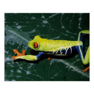 Monte Verde, Costa Rica. Red-eyed tree frog Poster