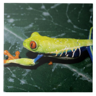 Monte Verde, Costa Rica. Red-eyed tree frog Tile