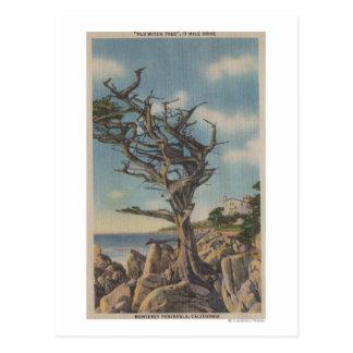 Monterey, CA - árbol viejo de la bruja en 17 Tarjetas Postales