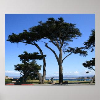 Monterey Cypress Tree, Coastline Photo Print