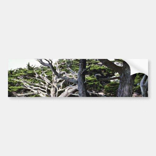 Monterey Cypresses - Pt. Lobos State Preserve Bumper Sticker