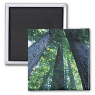 Montgomery Woods State Reserve, California. Magnet