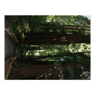 Monumento nacional de maderas de Muir Póster