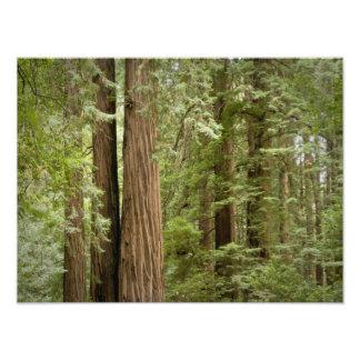 Monumento nacional de maderas de Muir, septentrion Fotografía