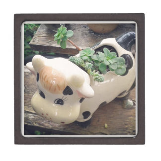 Moo, Cow Creamer Filled with Succulent Plants Jewelry Box