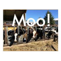 Moo Cows Postcards