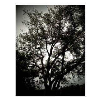 Moody Live Oak Post Card