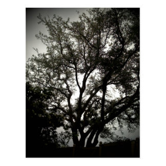 Moody Live Oak Postcard