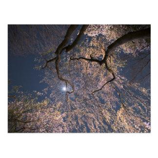 Moon Over Cherry Blossoms Postcard