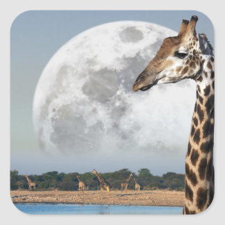 Moon rising over a group of Giraffe in Etosha Square Stickers