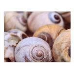 Moon Snail Shells Postcard