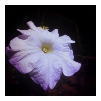 moonflower at midnight poster
