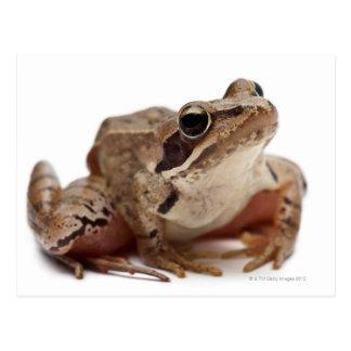 Moor Frog - Rana arvalis Postcard