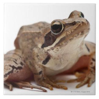 Moor Frog - Rana arvalis Ceramic Tile