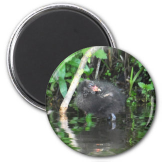 Moorhen Chick on Brambles 2 Inch Round Magnet