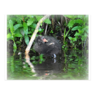 Moorhen Chick on Brambles Post Cards