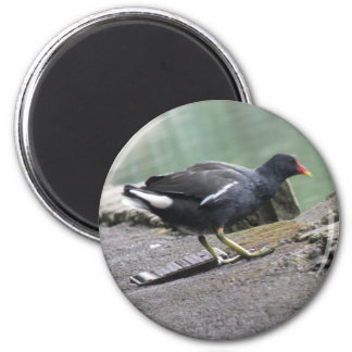 Moorhen Magnet