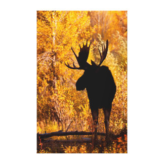Moose (Alces Alces) Bull In Golden Willows 2 Canvas Print