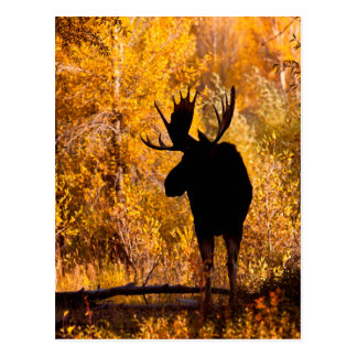 Moose (Alces Alces) Bull In Golden Willows 2 Postcard