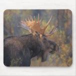 moose, Alces alces, bull in Grand Teton Mousepad