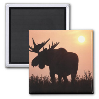 moose, Alces alces, bull with large antlers, 2 Inch Square Magnet