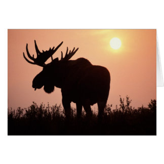 moose, Alces alces, bull with large antlers, Greeting Card