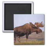 moose, Alces alces, bull with large antlers in 2 Inch Square Magnet