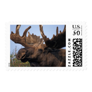 moose, Alces alces, bull with large antlers in 2 Postage
