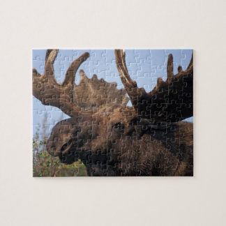 moose, Alces alces, bull with large antlers in 2 Puzzles