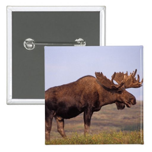 moose, Alces alces, bull with large antlers in Pinback Buttons