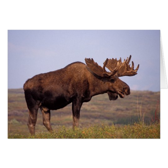moose, Alces alces, bull with large antlers in Card
