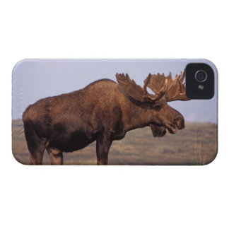moose, Alces alces, bull with large antlers in iPhone 4 Covers