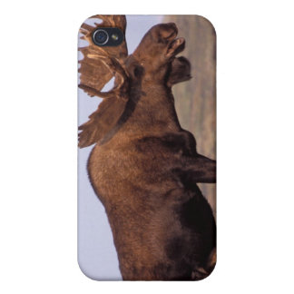 moose, Alces alces, bull with large antlers in iPhone 4 Cover
