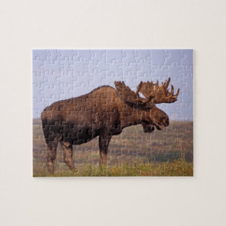 moose, Alces alces, bull with large antlers in Jigsaw Puzzles