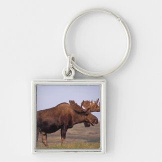 moose, Alces alces, bull with large antlers in Keychain