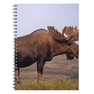 moose, Alces alces, bull with large antlers in Notebook