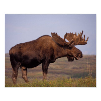 moose, Alces alces, bull with large antlers in Poster