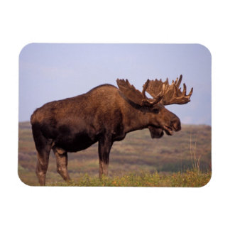 moose, Alces alces, bull with large antlers in Rectangular Photo Magnet