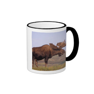 moose, Alces alces, bull with large antlers in Ringer Mug