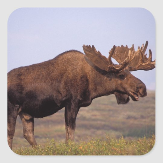 moose, Alces alces, bull with large antlers in Square Sticker