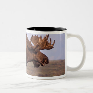 moose, Alces alces, bull with large antlers in Two-Tone Coffee Mug