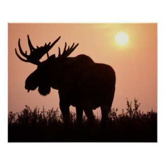moose, Alces alces, bull with large antlers, Poster