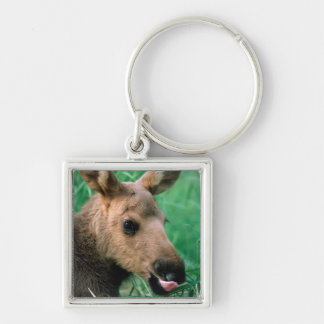 moose, Alces alces, calf lying in grass, Kenai Keychain