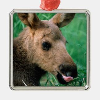 moose Alces alces calf lying in grass Kenai Christmas Ornament